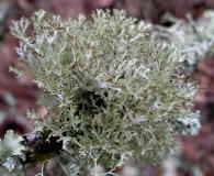 Platismatia stenophylla