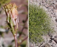 Pleurocoronis laphamioides