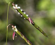 Pleuropogon hooverianus