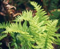 Polypodium californicum