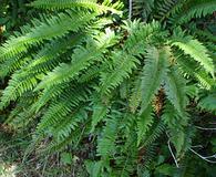 Polystichum californicum