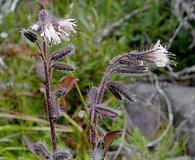 Prenanthes racemosa