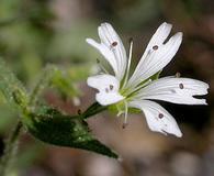 Pseudostellaria jamesiana