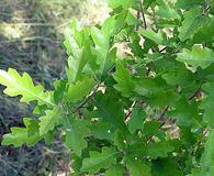 Quercus X undulata