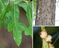 Quercus austrina