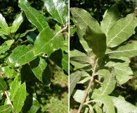 Quercus eduardii