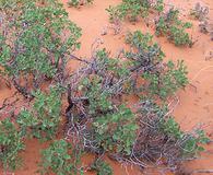 Quercus havardii