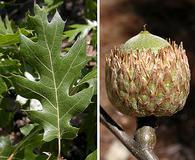 Quercus kelloggii