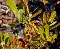 Quercus minima
