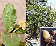 Quercus rugosa