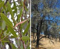 Quercus viminea