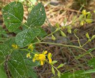 Rhynchosia latifolia