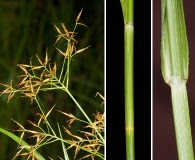 Rhynchospora careyana