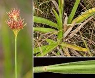 Rhynchospora ciliaris
