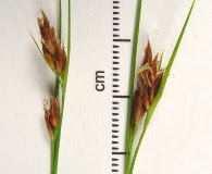 Rhynchospora fusca