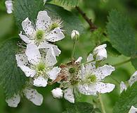 Rubus pensilvanicus