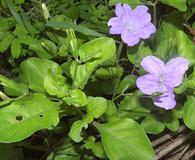 Ruellia nudiflora