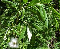 Salix drummondiana