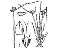Schoenoplectiella purshiana
