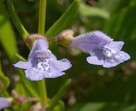 Scutellaria parvula