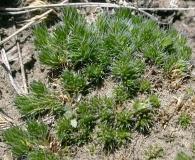 Selaginella densa