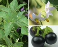 Solanum interius