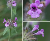 Stachys latidens