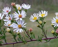 Symphyotrichum racemosum