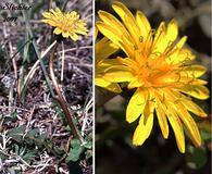 Taraxacum alaskanum