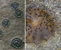 Umbilicaria phaea
