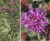 Vernonia marginata