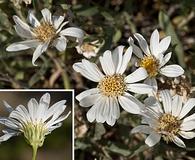 Xylorhiza glabriuscula